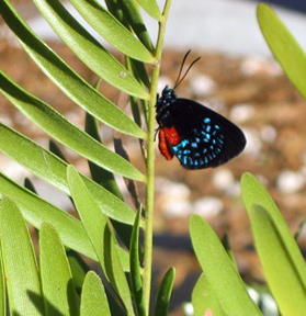 Atala feeding on coontie