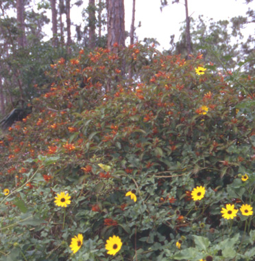 Firebush dune sunflower for color